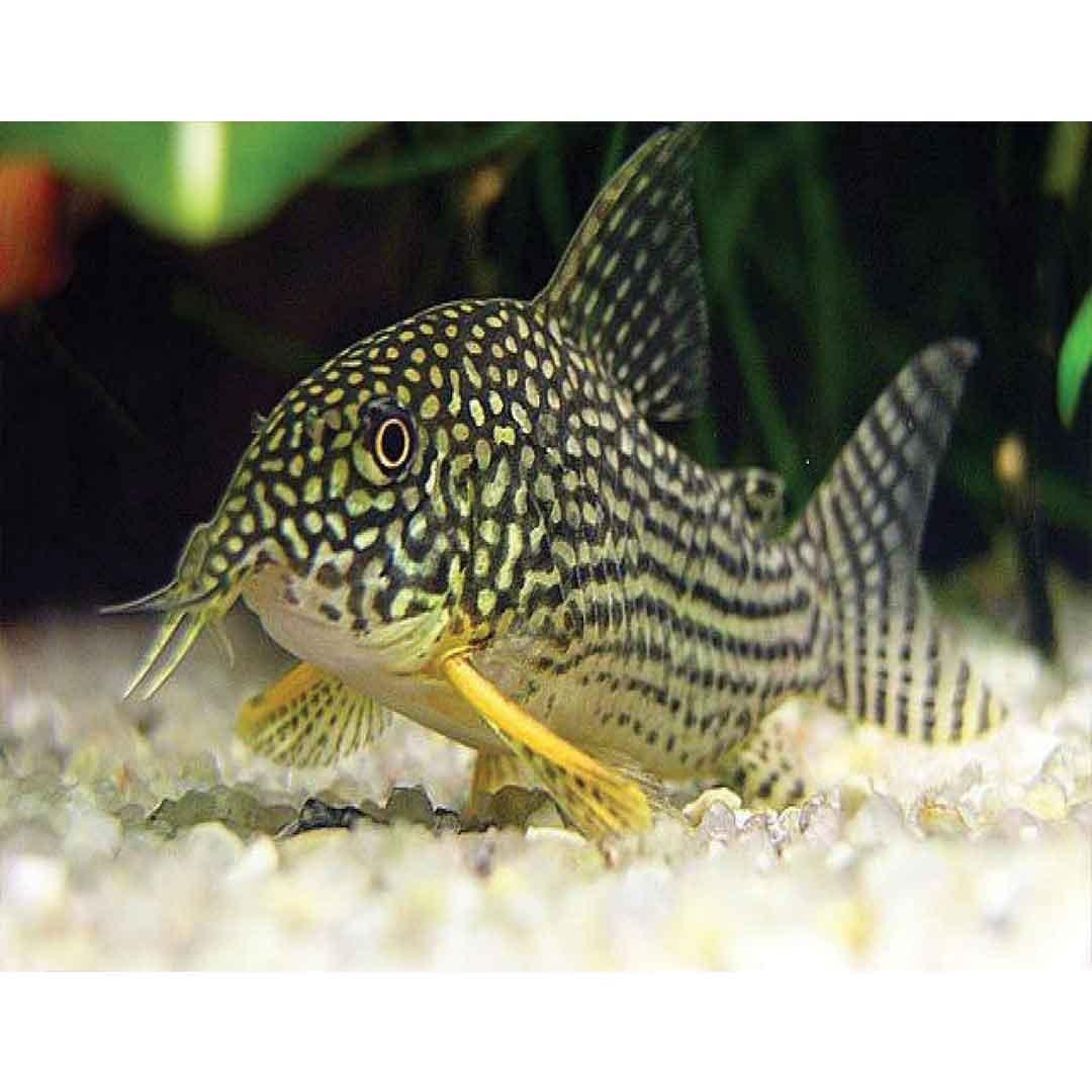 ماهی-کوریدوراس