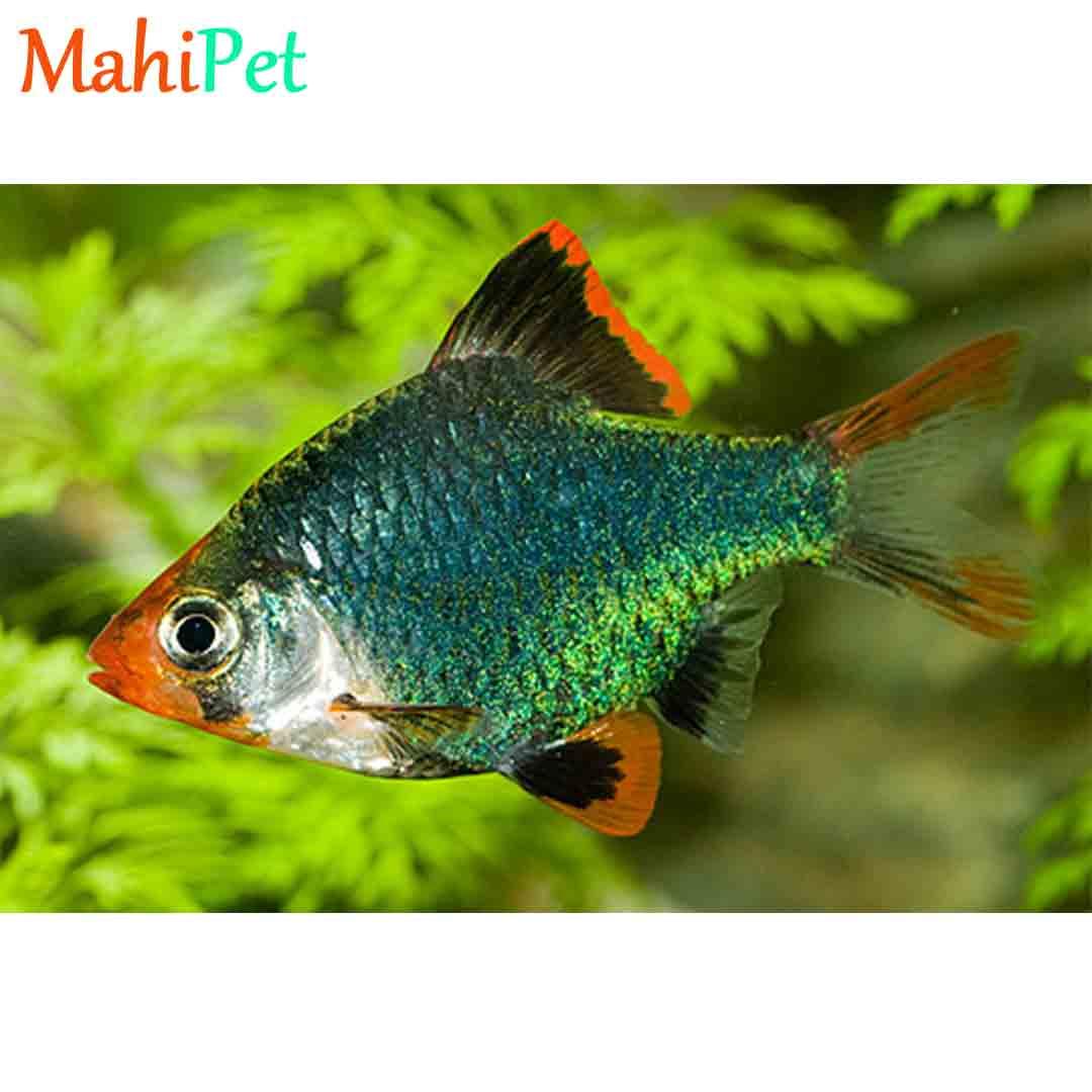 ماهی گرین بارب