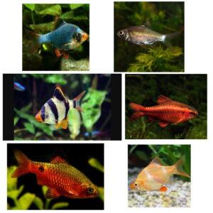 پک ماهی گیاه خوار ( خانواده بارب ها)