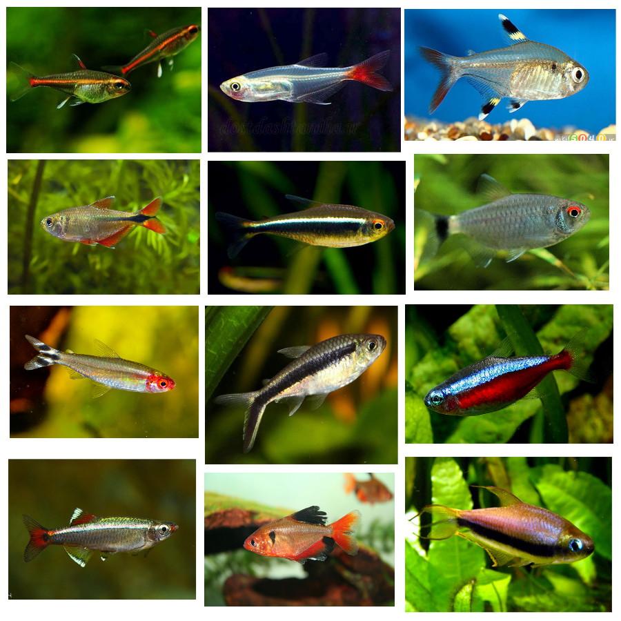 پک ماهی گیاه خوار(خانواده تترا)