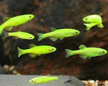 زبرا سبز 2تا2.5 cm
