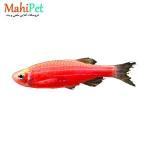 زبرا قرمز 3تا 5 cm