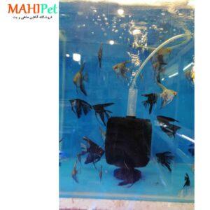 ماهی آنجل دورنگ یا دودی