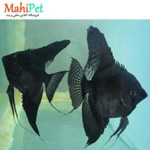ماهی آنجل مشکی