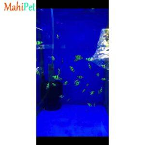 ماهی تایگر بارب فسفری