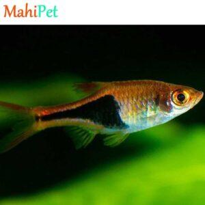 ماهی رازبورا هنکل