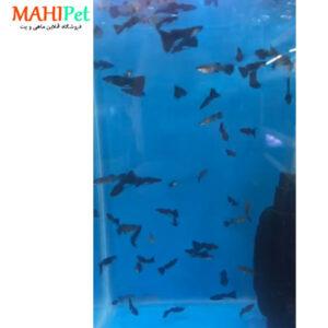 ماهی گوپی فول بلک