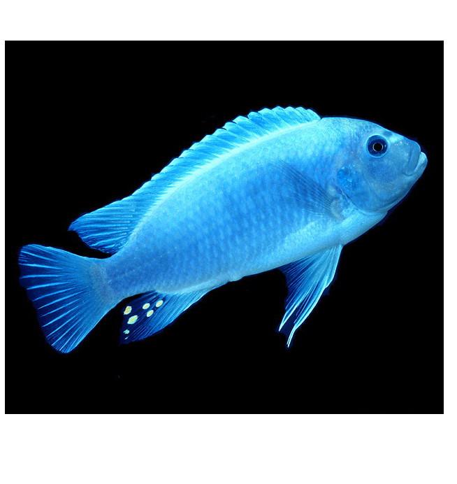 ماکرو آبی درشت 7تا 8 cm