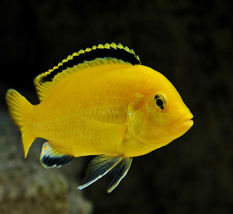 ماکرو زرد درشت 7 تا 8 cm