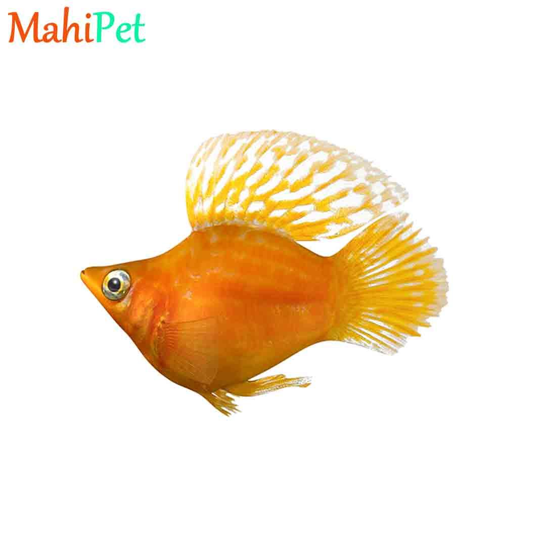 ماهی مولی بالن