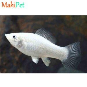 ماهی مولی معمولی