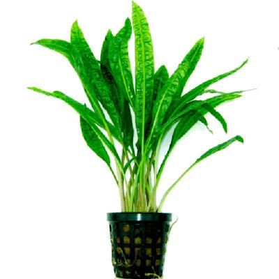 گیاه آکواریومی کریپتون