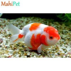 گلدفیش رنچو سفید قرمز