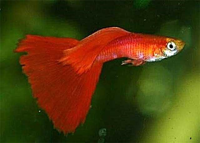 گوپی نئون قرمز 2 تا 3 cm