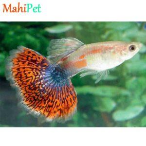 ماهی گوپی کبری