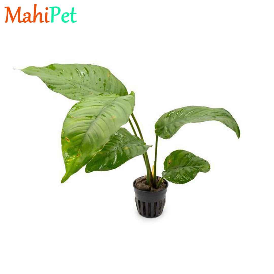 گیاه آنوبیاس هتروفیلا L255 / سایز XL