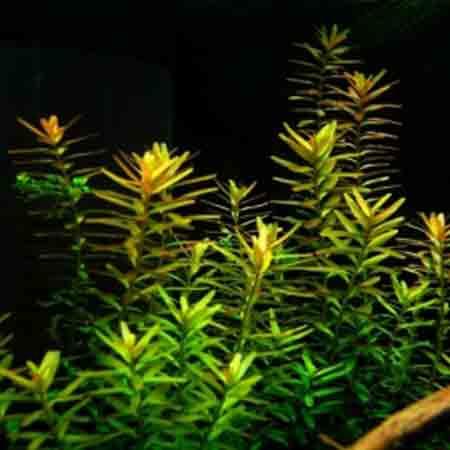 گیاه آکواریومی روتالا (1)