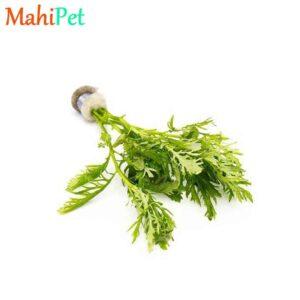گیاه افرا