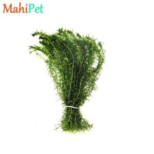 گیاه دم گربه ای
