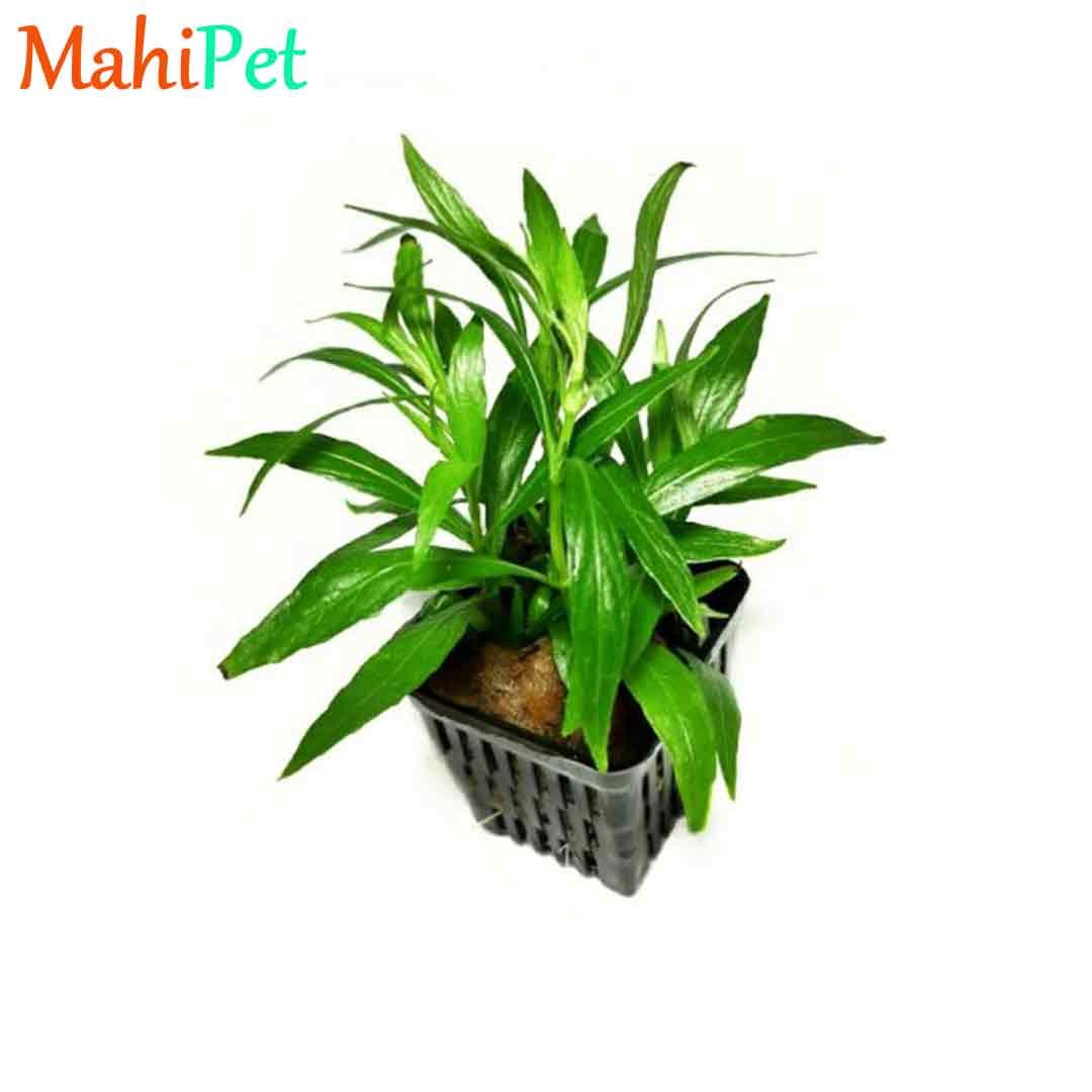 گیاه سالسیفولیا برگ باریک