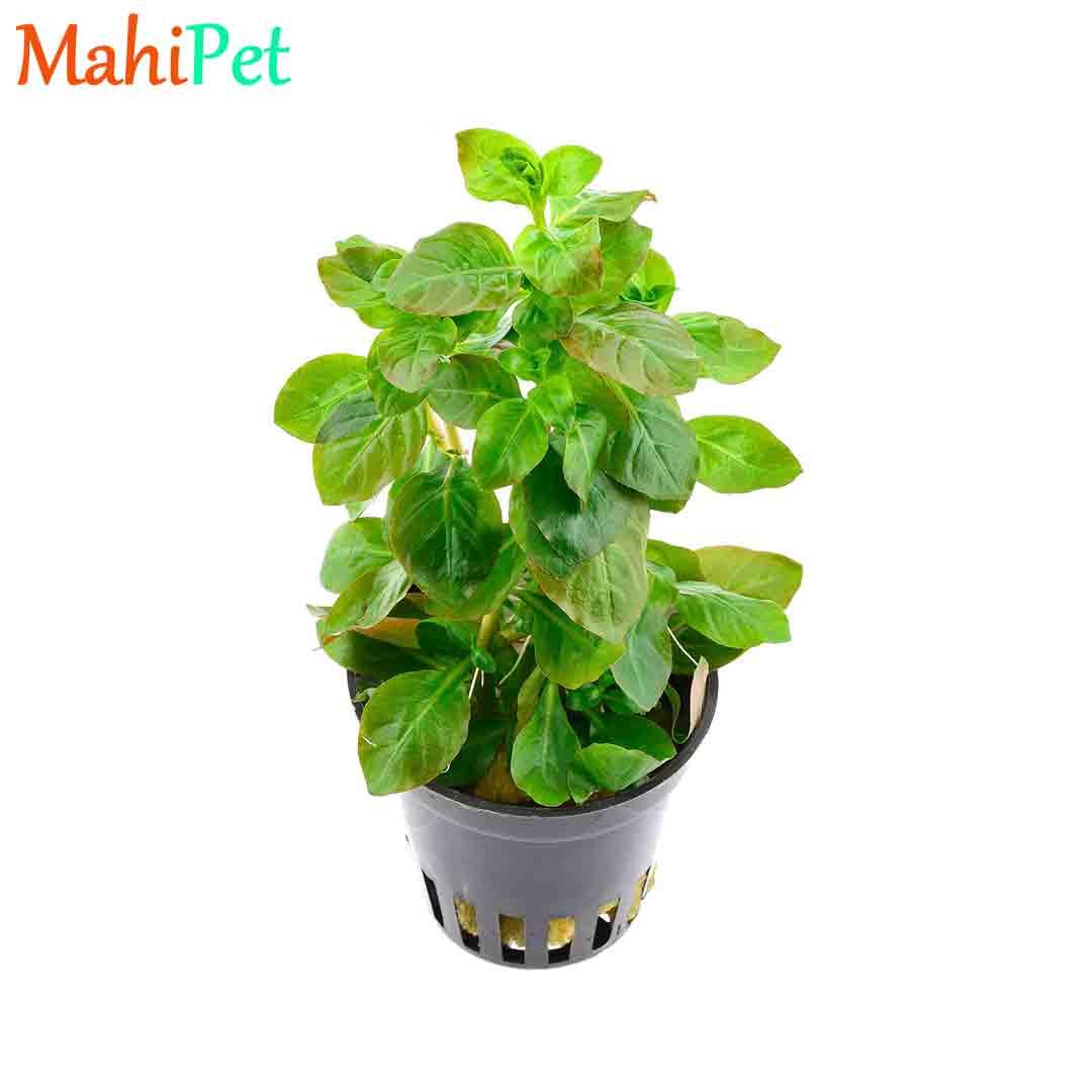 گیاه لودویجیا اوالیس
