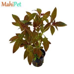 گیاه لودویجیا پرونسیس