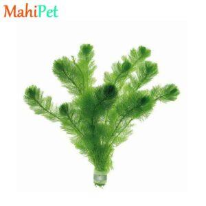 گیاه کابومبا (سبز و قرمز)