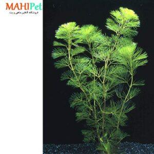 گیاه کابومبا (سبز و قرمز )