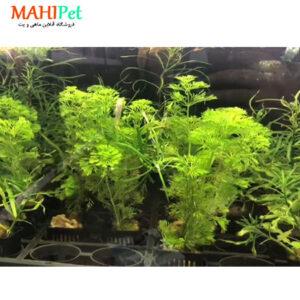 گیاه کابومبا (سبز و قرمز ) (2)