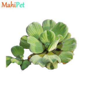 گیاه کاهو آبی