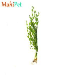 گیاه گندمی پیچ