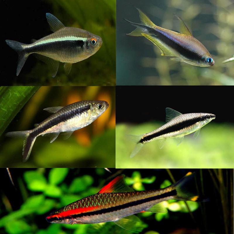 پک ماهیان گیاه خوار( ماهی های خط دار)