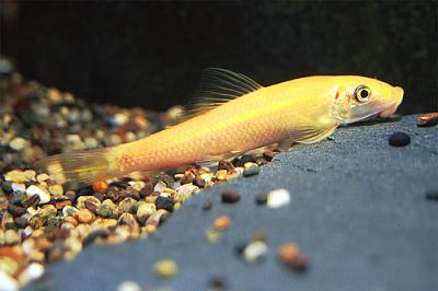 پک ماهی جلبک خوار