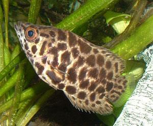پک ماهی گیاه خوار( خانواده گورامی ها)