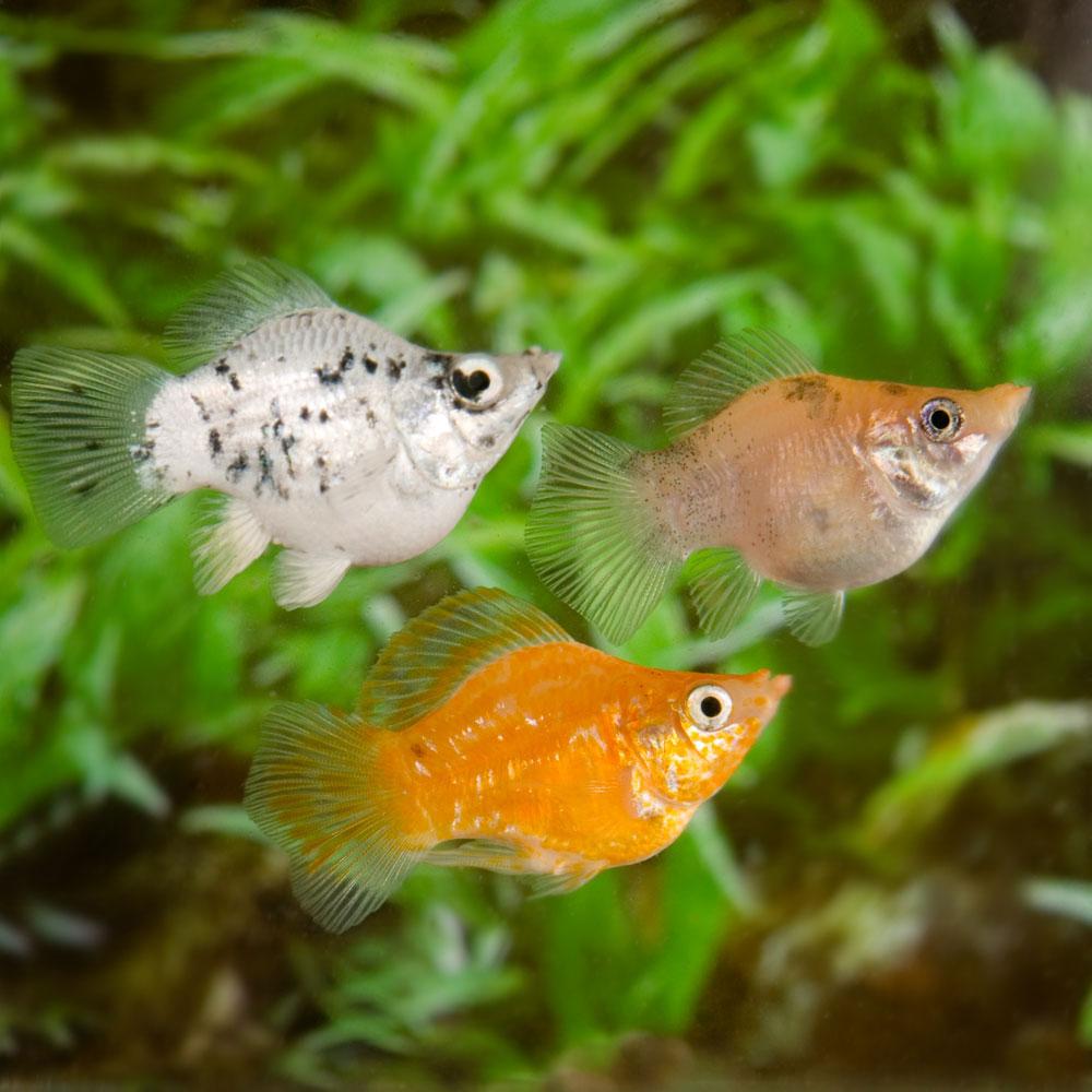 پک ماهی گیاه خوار زنده زا(گوپی,مولی,سوارتل, پلاتی)