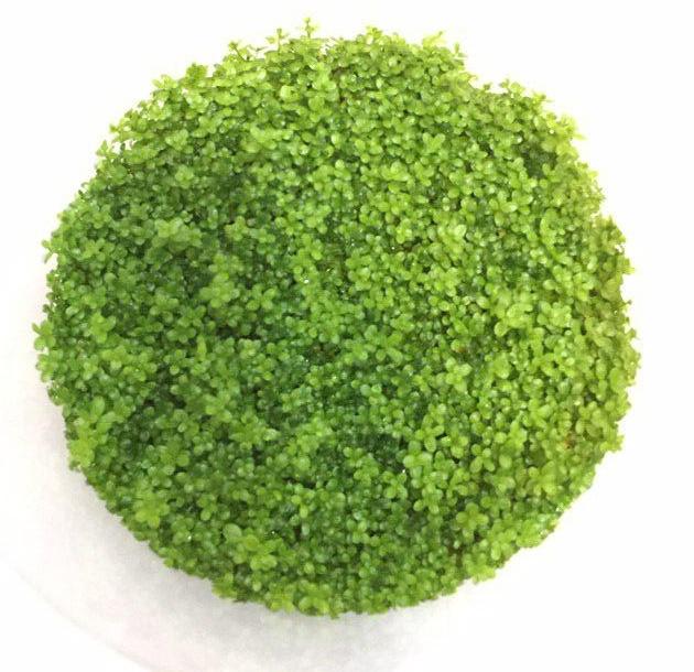گیاه مونت کارلو اکواریومی