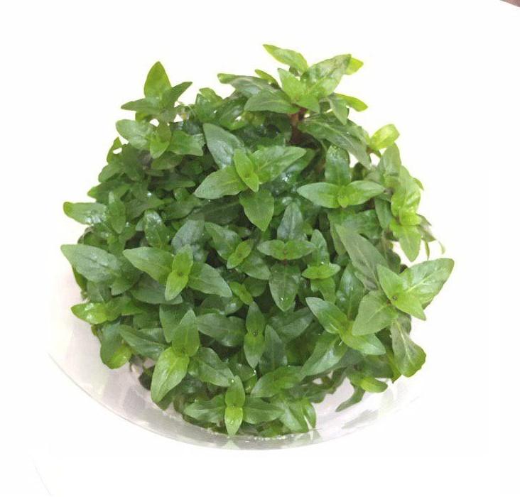 گیاه استروژن اکواریومی