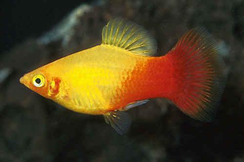 پک ماهی گیاه خوار 5