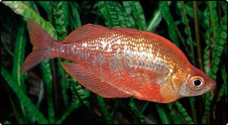 رمبو بوسمانی 3 تا 5 cm