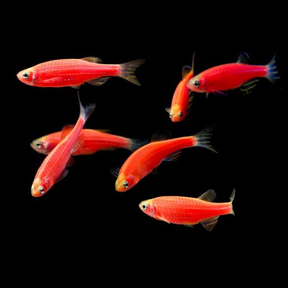 پک ماهی زبرا صورتی