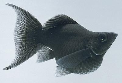 پک ماهی مولی