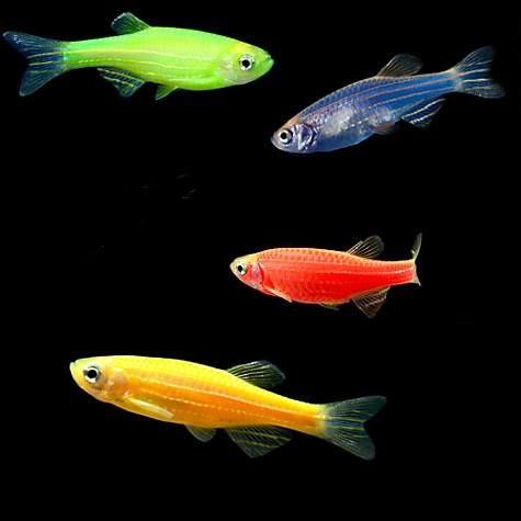 پک ماهی زبرا