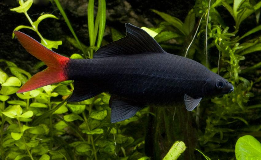 پک ماهی شارک