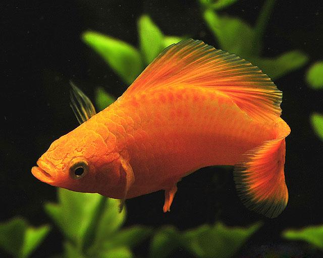 پک ماهی های گیاه خوار(طیف رنگی خورشیدی)