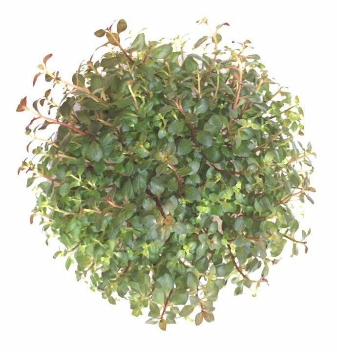 گیاه لودویجیا اکواریومی