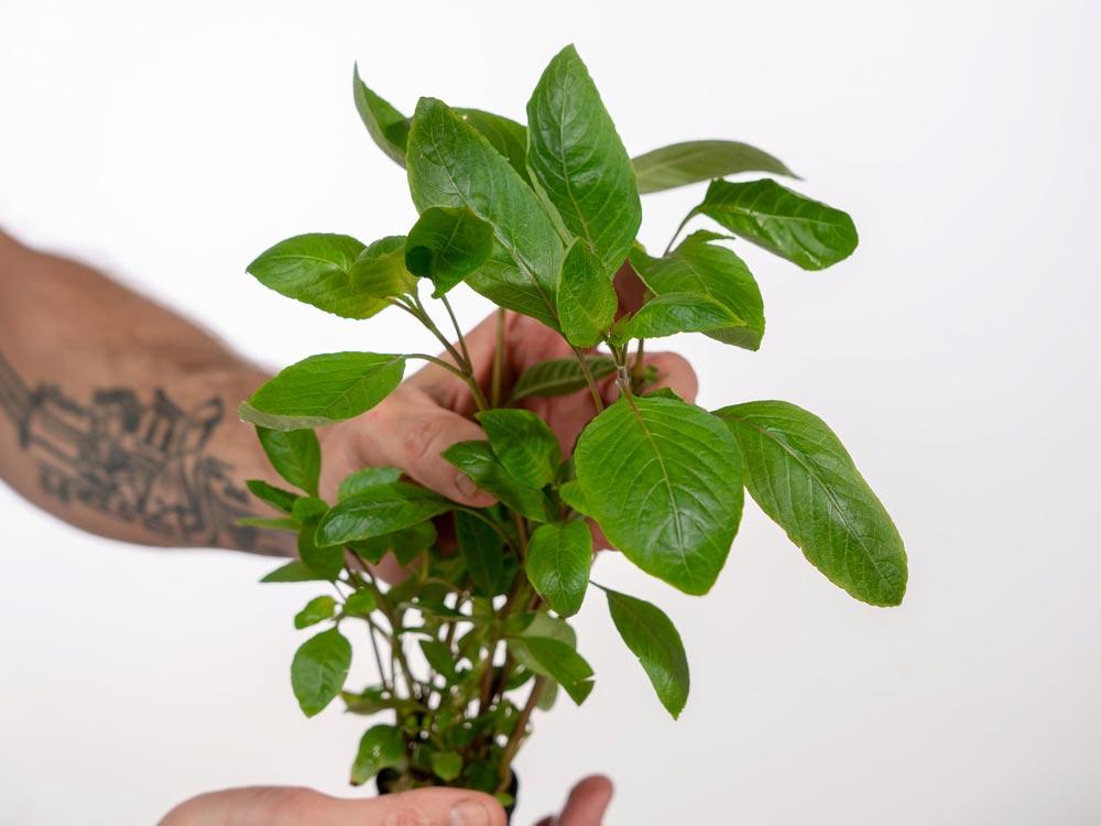 پک گیاه آکواریومی شماره 2