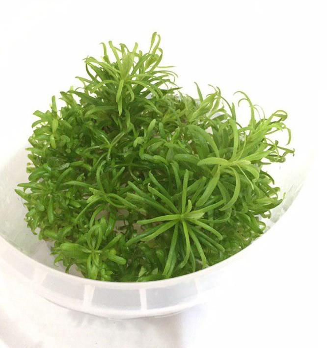 گیاه استارلیس اکواریومی
