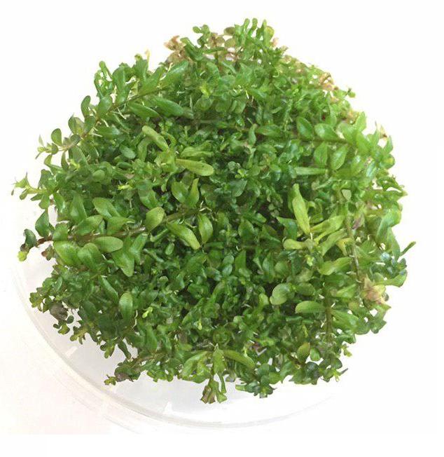 گیاه روتالا اکواریومی