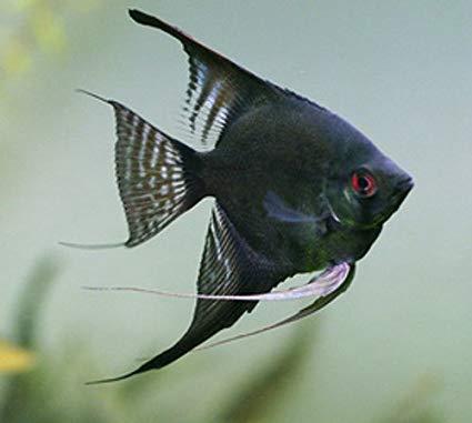 پک ماهی آنجل