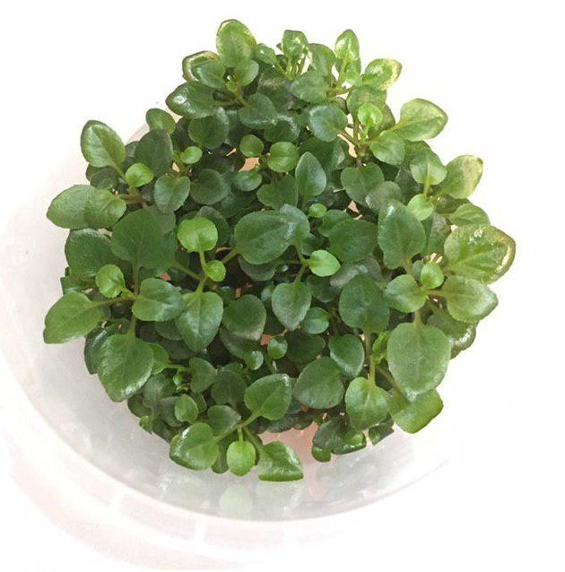گیاه لوبیلیا اکواریومی